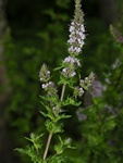 Water Mint (Mentha crispata)