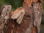 Cloaked Minor (Mesoligia furuncula)