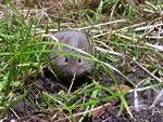 Field vole (Microtus agrestis)
