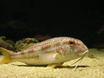 Striped red mullet   (Mullus surmuletus)