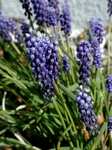 Garden Grape-Hyacinth (Muscari armeniacum)