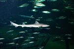 Starry smooth-hound   (Mustelus asterias)