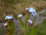Wood Forget-Me-Not (Myosotis sylvatica)