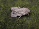 Shoulder-striped Wainscot (Mythimna comma)