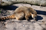Ring-tailed coati (Nasua nasua)