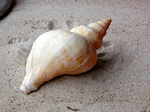 Red whelk, Buckie (Neptunea antiqua)