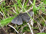 Chimney-sweeper (Odezia atrata)