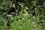Fine-leaved Water-dropwort (Oenanthe aquatica)