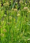Parsley Water-Dropwort (Oenanthe lachenalii)