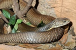 King Cobra (Ophiophagus hannah)