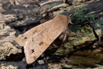 Twin-spotted Quaker (Orthosia munda)