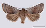 Northern Drab (Orthosia opima)