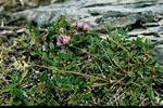 Northern Milk-vetch (Oxytropis lapponica)