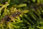 Curled Hook-moss (Palustriella commutata)
