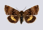 Small Yellow Underwing (Panemeria tenebrata)
