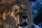 Lion (Panthera leo)
