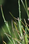 Hard Grass (Parapholis strigosa)