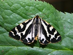 Wood Tiger (Parasemia plantaginis)