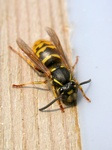 Common Wasp (Paravespula vulgaris)