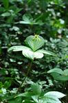Herb Paris (Paris quadrifolia)