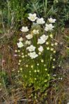 Grass-of-Parnassus (Parnassia palustris)