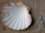 King scallop, Great scallop (Pecten maximus)