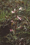 Pedicularis palustris ssp. borealis