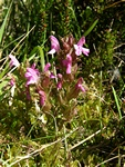 Lousewort (Pedicularis sylvatica)