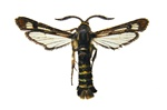 Raspberry Clearwing Moth (Pennisetia hylaeiformis)
