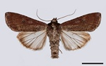 Pearly Underwing (Peridroma saucia)