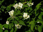 Mock-orange (Philadelphus coronarius)
