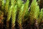 Thick-nerved Apple-moss (Philonotis calcarea)