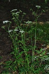 Great Burnet Saxifrage (Pimpinella major)