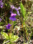 Large-Flowered Butterwort (Pinguicula grandiflora)