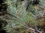 Jeffrey Pine, Yellow Pine (Pinus jeffreyi)