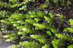 Long-beaked Water Feather-moss (Platyhypnidium riparioides)