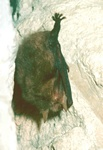 Brown long-eared bat (Plecotus auritus)
