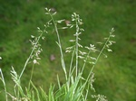 Annual Meadow-Grass (Poa annua)