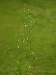 Broad-Leaved Meadow-Grass (Poa chaixii)