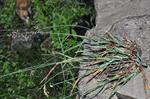 Glaucous Meadow-Grass (Poa glauca)