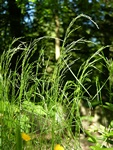 Wood Meadow-Grass (Poa nemoralis)
