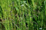 Smooth Meadow-Grass (Poa pratensis)