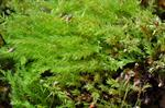 Opal Thread-moss (Pohlia cruda)