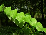 Common Solomon´s Seal (Polygonatum multiflorum)