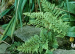 Polypodium australe (Cambricum Richard Kayse)