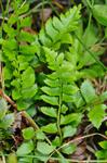 Holly Fern (Polystichum lonchitis)