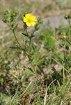 Grey Cinquefoil (Potentilla inclinata)