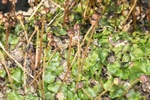 Narrow Mushroom-headed Liverwort (Preissia quadrata ssp. quadrata)