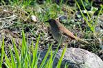 Hedge Accentor (Prunella modularis)