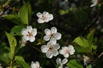 Dwarf Or Morello Cherry (Prunus cerasus)